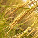 Arsênio em arroz preocupa os americanos