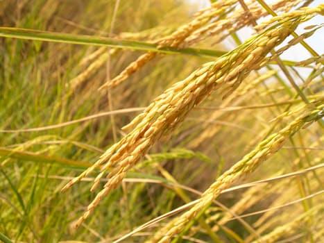 featured image Arsênio em arroz preocupa os americanos