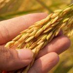 Organização de consumidores pressiona FDA a se posicionar sobre arsênio em arroz