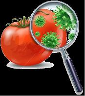 featured image Salmonella em tomate recebe atenção especial do FDA