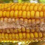 Redução de micotoxinas em cereais – Codex alimentarius