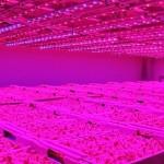 LED pode ajudar a controlar a contaminação de alimentos