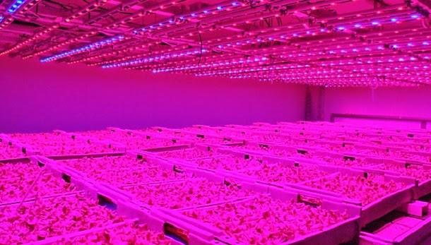 featured image LED pode ajudar a controlar a contaminação de alimentos