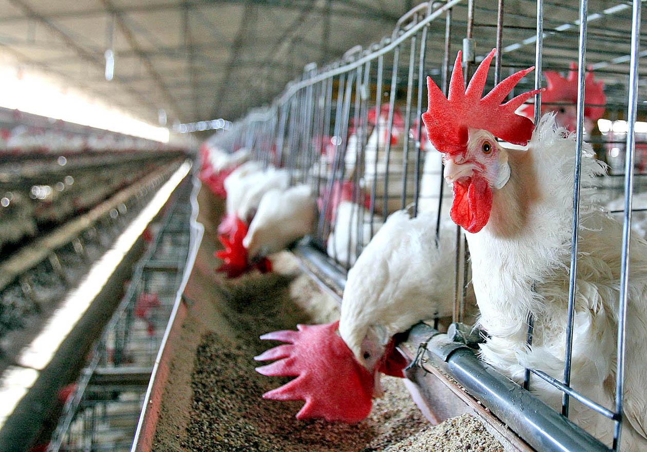 featured image Controle da contaminação por Salmonella spp da produção ao abate das aves