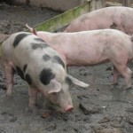 Neurocisticercose: culpa mesmo da carne crua ou do meio ambiente?