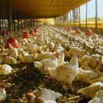 Bem-estar animal (em frangos) e a segurança dos alimentos