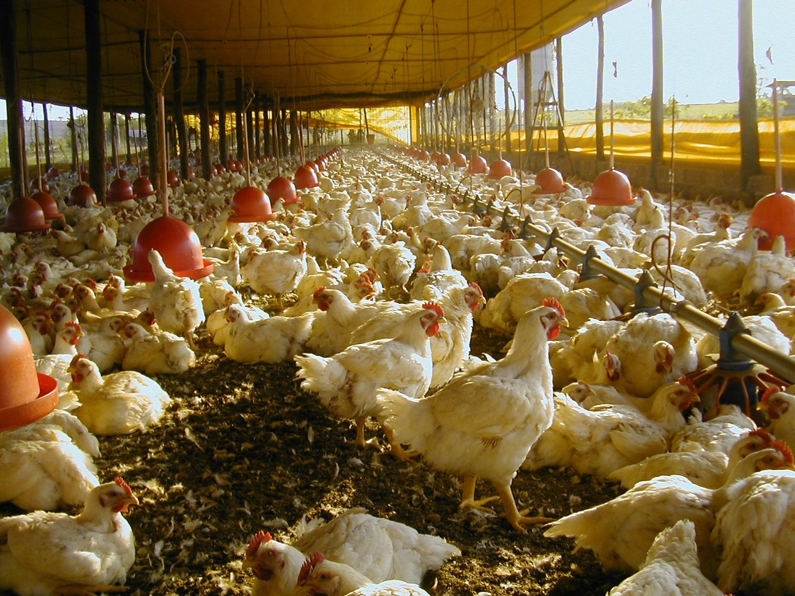 featured image Bem-estar animal (em frangos) e a segurança dos alimentos