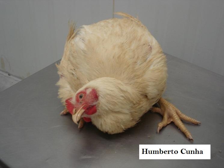 featured image Aplicando a semiologia veterinária na Inspeção Ante-Mortem de Aves