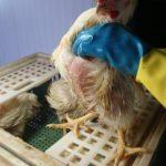 Em quais casos tenho abate sanitário num abatedouro-frigorífico de frangos?