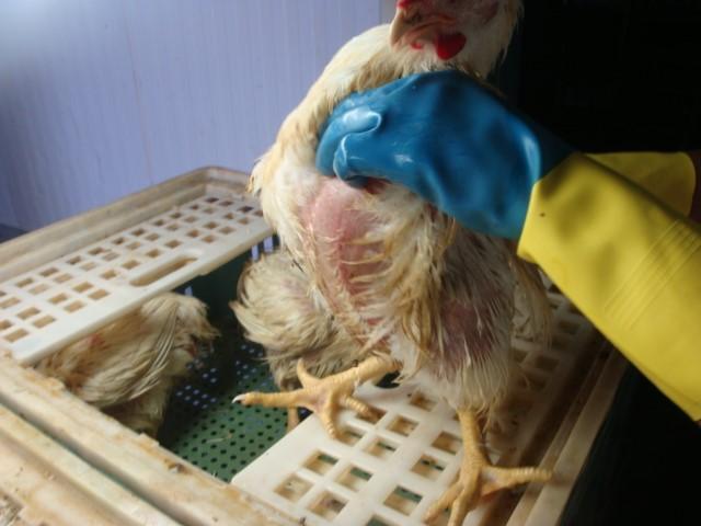 featured image Em quais casos tenho abate sanitário num abatedouro-frigorífico de frangos?