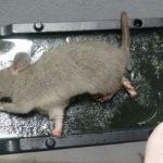 Controle de pragas: importância do formato da armadilha para roedores