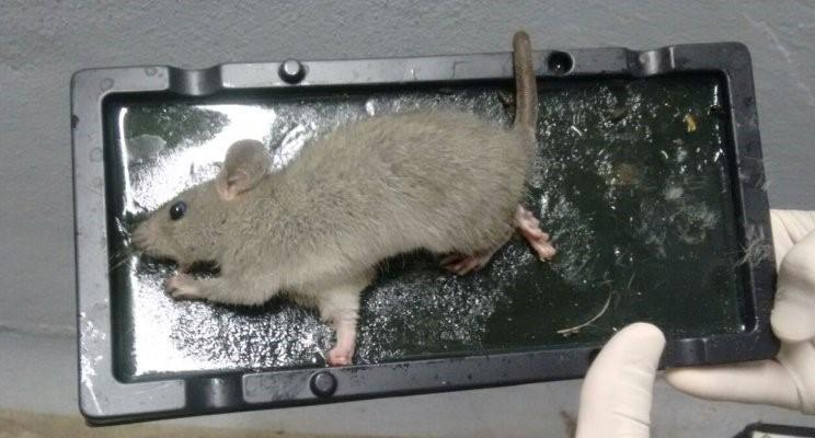 armadilha para roedores 1